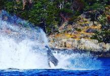 Orca splashing in the ocean near Victoria